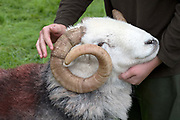 Hill farmer showing his Herdwick tup ram at Borrowdale Shepherds Meet in Rosthwaite village, Cumbria on 16 September 2018. Herdwick sheep are the native breed of the central and western Lake District and live on the highest of England's mountains. They are extremely hardy and are managed in the traditional way on the Lake District fells that have been their home for generations.