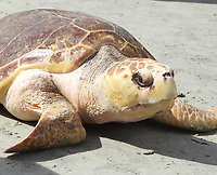 Briar the Sea turtle set free after just over a year of being nursed back to health by the South Carolina Aquarium Sea Turtle  Rescue program. She was found on May 30th 2013, extremely undeweight, with poor bloodworks and had developed cataracts. After surgery and weeks of nursing at the program she was finally well enough to be set free on July 15th 2014 photos Catherine Brown
