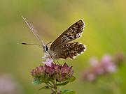 Brown Argus Butterfly, (Aricia agestis) on Wild Thyme (Thymus serphyllum) flower, Kent UK