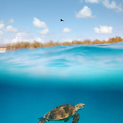 This is probably my favorite photo from the trip: A split level view of a Sea Turtle underwater with a tern directly overhead.