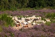 sheep and goats for open land management in the flowering Wahner Heath, Troisdorf, North Rhine-Westphalia, Germany.<br /> <br /> Schafe und Ziegen zur Offenlandpflege in der bluehenden Wahner Heide, Troisdorf, Nordrhein-Westfalen, Deutschland.