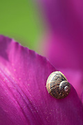 Close-up abstract of a small snail on the petals of a deep pink tulip in a Norfolk garden in early summer