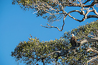Fish eagle - one of the rarest birds in Madagascar.