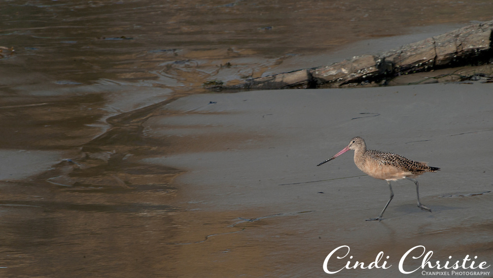 A curlew scouts for food at Crystal Cove State Park on Oct. 21, 2010. (© 2010, Cindi Christie/Cyanpixel Photography)