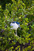 Black-crowned Night Heron, Nycticorax nycticorax, in tree branches in Florida Everglades, USA