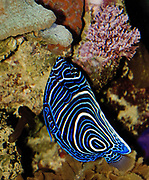Juvenile Emperor Angelfish, Pomacanthus imperator, feeding on tiny invertebrates that grow from live rocks in a marine coral reef aquarium.