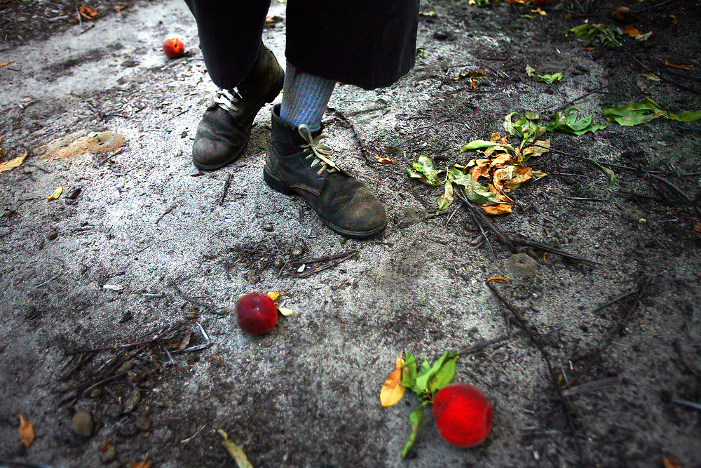 A migrant worker steps over fallen peaches as he picks peaches at the break of dawn.