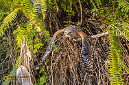 Red Shouldered Hawk with freshly caught green anole lizard at Corkscrew Swamp Sanctuary near Naples, Florida, USA