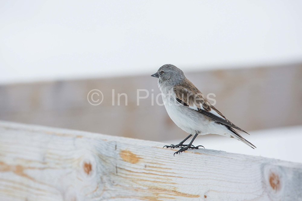 A White-winged Snowfinch perched on a wooden fence on 05 April 2018 in Laax ski resort in Switzerland. During warmer months, Snowfinches are a common sight in the higher regions of the Alps and can be seen on almost any hike above 2000m. Snowfinches are relatively tame, generally unafraid of human activity and often seen in ski resorts feeding on leftovers.