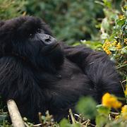 Female mountain gorilla resting in Volcanoes National Park Rwanda, Africa.