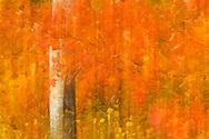 Aspen (Populus tremula) and Maple (Acer platanoides), Lake Tåkern, Sweden