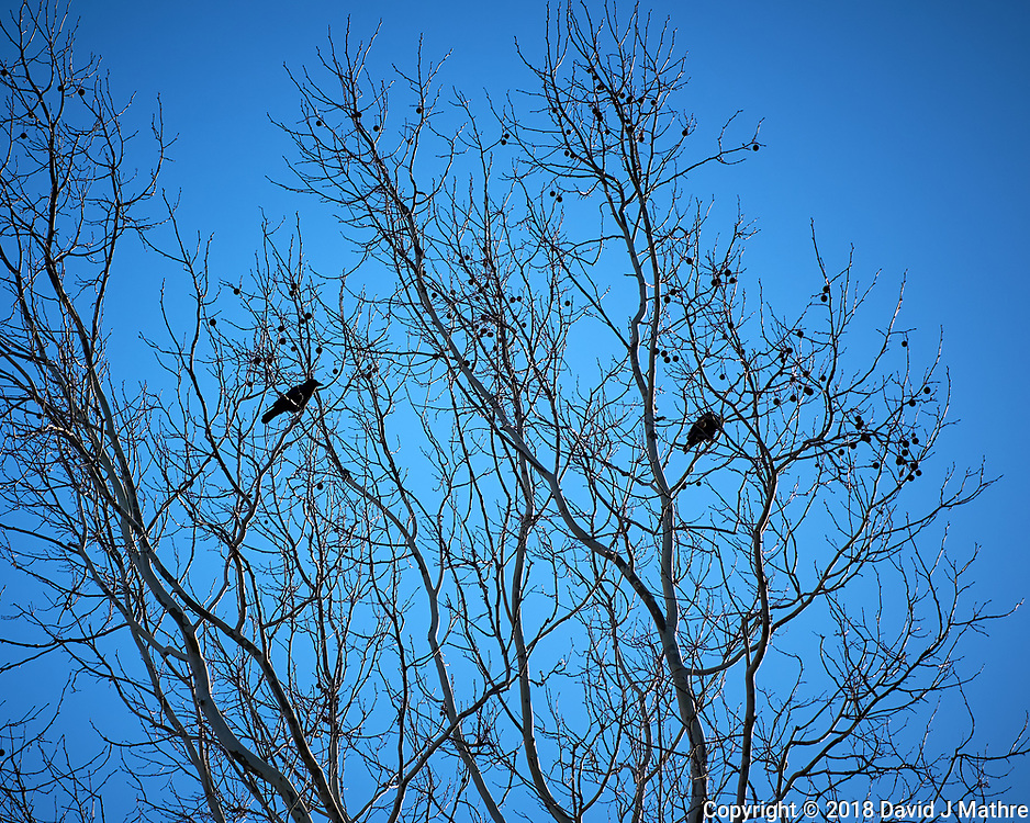 American Crow. Image taken with a Leica CL camera and 60 mm f/2.8 lens