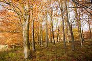 Orange brown beech tree autumn leaves Savernake Forest, Wiltshire, England, UK