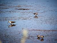 Stilt Sandpiper (?). Biolab Road, Merritt Island National Wildlife Refuge. Image taken with a Nikon D3s camera and 80-400 mm VR len (ISO 200, 400 mm, f/5.6, 1/1600 sec).