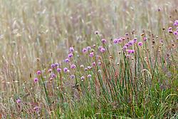 Groot Engels gras, Armeria maritima subsp. elongata