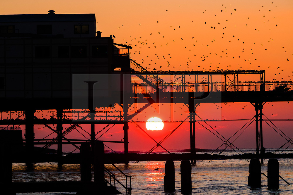 © Licensed to London News Pictures. 21/11/2018. Aberystwyth, UK. As the sun sets gloriously over Cardigan Bay on a crystal clear but bitterly cold evening, tens  of thousands of starlings fill every possible surface as they prepare to roost for the night on the forest  of cast iron legs underneath  Aberystwyth's Victorian seaside pier. Aberystwyth is one of the few urban roosts in the country and draws people from all over the UK to witness the spectacular nightly displays. .Photo credit: Keith Morris/LNP
