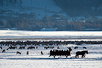 A horse-drawn sleigh gives visitors an intimate view of elk wintering on the National Elk Refuge on Tuesday. The refuge reported a 35 percent increase in ridership over the holiday period from Christmas Eve to New Year's Eve.