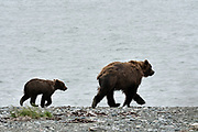 A Brown bear sow and her cub walk on the pebble spit at the McNeil River State Game Sanctuary on the Kenai Peninsula, Alaska. The remote site is accessed only with a special permit and is the world's largest seasonal population of brown bears in their natural environment.