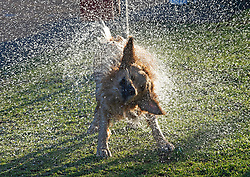 © Licensed to London News Pictures 26/02/2021.        Blackheath, UK. Juno the Golden Retriever (age two) shaking off water from a swim in The Prince of Wales Pond on Blackheath Common. People get out of their homes from a third national Coronavirus lockdown to enjoy some bright sunny weather on Blackheath Common, London. Photo credit:Grant Falvey/LNP