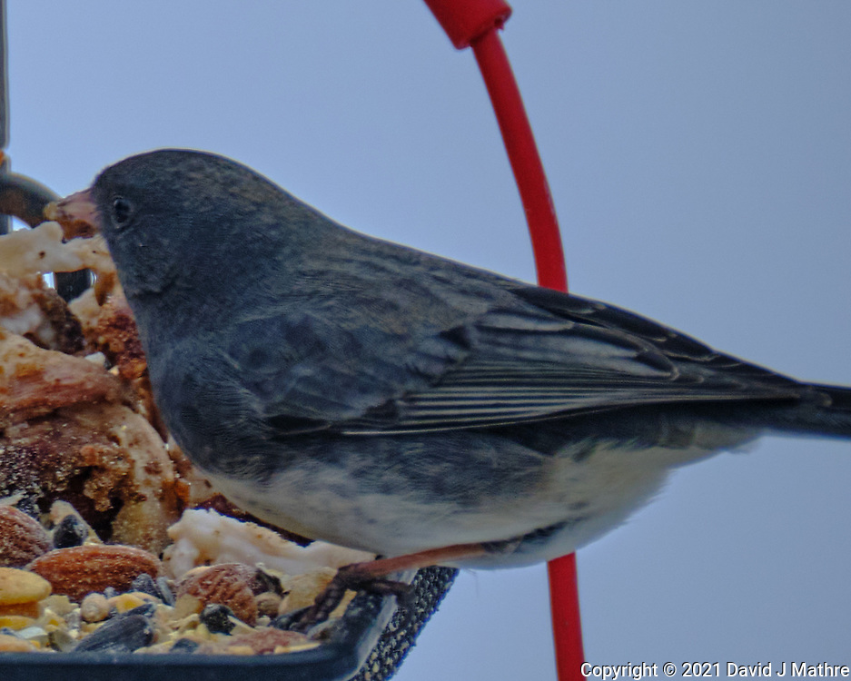 Dark-eyed Junco (Junco hyemalis).  Image taken with a Fuji X-H1 camera and 100-400 mm OIS lens.