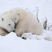 Polar Bear (Ursus maritimus) mother and cub lay near a dead cub. Cape Churchill, Manitoba, Canada