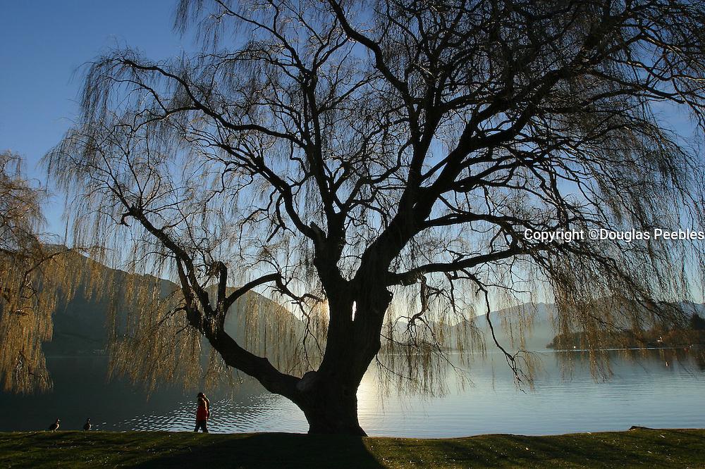 Willow Tree, Lake Wanaka, Wanaka, South Island, New Zealand