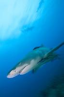 Lemon Shark, Movement