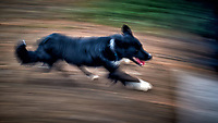 Sheep dog at work at an Estancia in Patagonia. Image taken with a Nikon D3s camera and 50 mm f/1.4 lens (ISO 200, 50 mm, f/16, 1/10 sec)