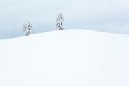 Zwei tief verschneite Linden (Tilia sp.) in der Drumlinlandschaft bei Menzingen bei diffuser Bewölkung, Kanton Zug, Schweiz<br /> <br /> Two deeply snow-covered linden trees (Tilia sp.) In the Drumlin landscape near Menzingen under diffuse clouds, Canton Zug, Switzerland