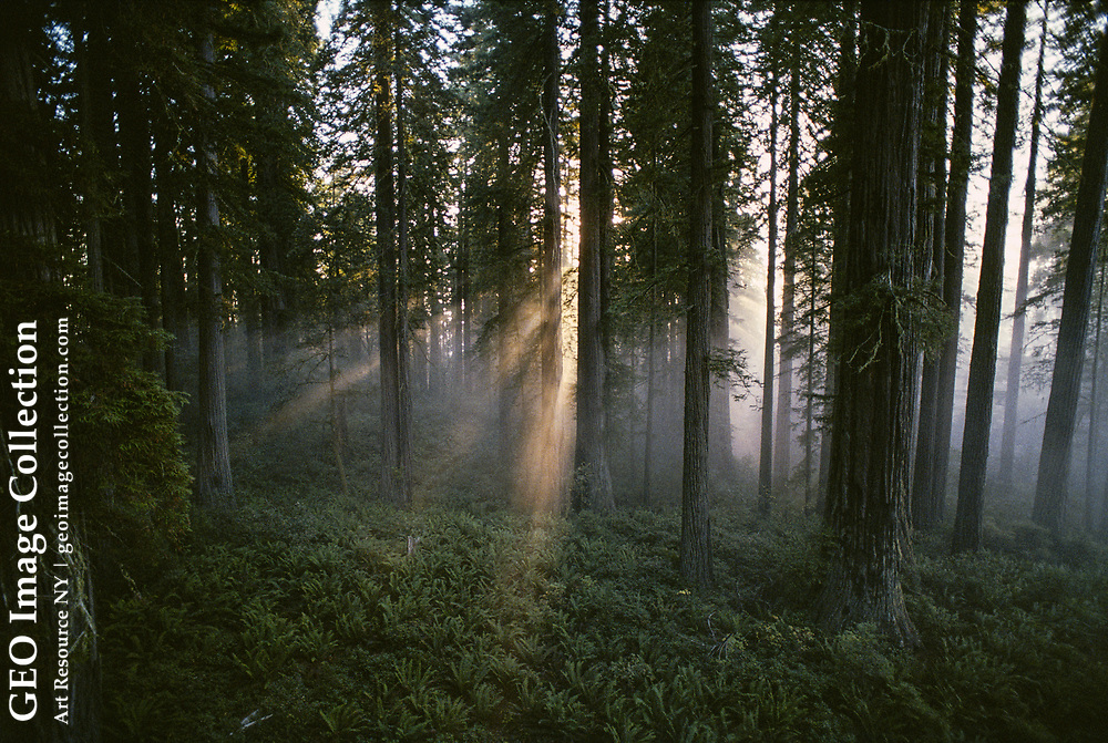The morning sun filters through redwood trees.