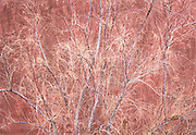 Young Winter Gooding's Willow Growing up Against Redrock Wall, Moab, Utah..