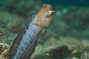 Jaw fish.  Gifted with excellent vision jaw fish are difficult to approach.  They live in a subterranean system of burrows with multiple exits.  Often you will be waiting for a jaw fish to pop it head up only to see it looking at you from another entrance burrow. Burrows may extend for 2-3 meters.   Length 12 cm.