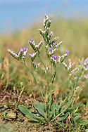 Rock Sea-lavender - Limonium binervosum subpecies anglicum