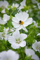 Bumblebee on Cosmos bipinnatus 'Purity' with Malope trifida 'Alba'.