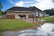 Aug, 8, Victoria Ardoin,Forrest Bellue,  and Cameron DeBate  ( left to right) find a lost cow in Denham Springs Louisiana while walking around the block from the Debate's home.  The cow was rescued the following day.