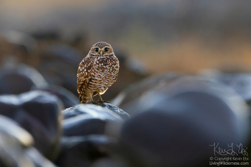 After a heavy rainstorm, a burrowing owl (Athene cunicularia) looks out from its perch among the wet rocks in Grant County, Washington.