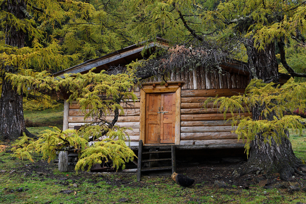 A herdsmans cabin under Chinese larch trees, Larix chinensis, in autumn colours in the Baima Snow Mountain Nature reserve, Yunnan, China