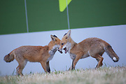 Two fox cubs enjoy some fun time in the late afternoon in Bristol