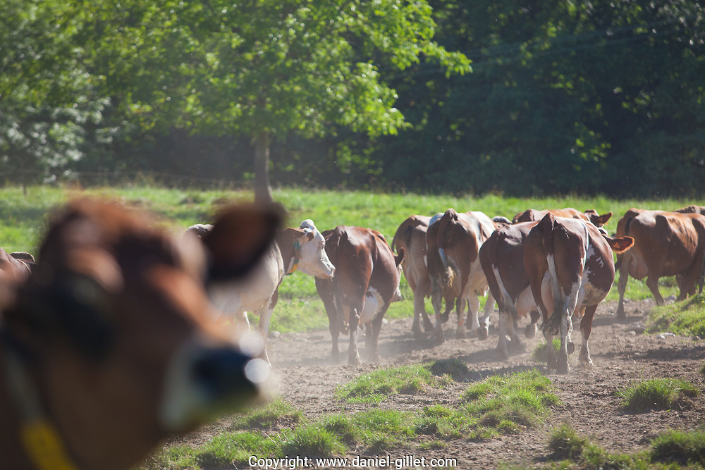 Vaches dans les champs, Savoie Herd of cows producing milk for Gruyere cheese in France in the spring