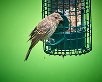 House Finch. Image taken with a Nikon D810a camera and 600 mm f/4 VR lens