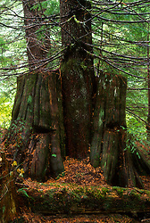 Old-Growth Western Red Cedar (Thuja plicata) Stump with Springboard Logging Notches and Second-Growth Tree Growing Out of It, Mt. St. Helens National Volcanic Monument, Washington, US