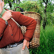 A Romanian peasant farmer carries a basket of grass he has collected to feed his animals with, Desesti, Maramures, Romania.