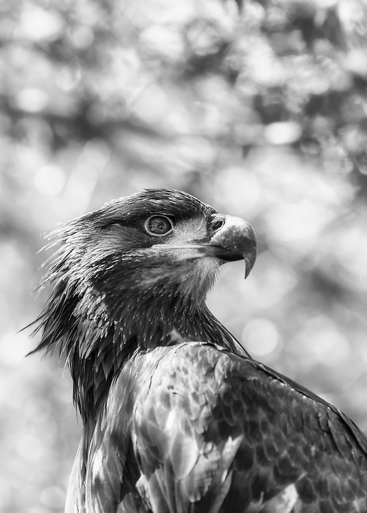 An Immature Bald Eagle in Black and White Under The Tree Canopy