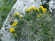 HAIRY GREENWEED Genista pilosa. Height to 1m, but often almost prostrate. Low-growing shrub. It recalls Petty Whin but is spineless, and Dyer's Greenwood, but its leaves are silvery-downy below. The flowers are yellow, in terminal heads (May-June). It grows on maritime heaths and sea cliffs. It is also found, locally, on the N Cornish coast and in W Wales.