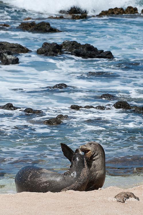 Hawaiian monk seals, Monachus schauinslandi, Critically Endangered endemic species;  a 5 year old male (RO36) scuffles with a female, (R318); Beach 4, west end of Molokai, Hawaii ( Central Pacific Ocean )