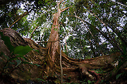 Buttress Roots (Ficus sp.)<br /> Yasuni National Park, Amazon Rainforest<br /> ECUADOR. South America