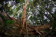 Buttress Roots (Ficus sp.)<br /> Yasuni National Park, Amazon Rainforest<br /> ECUADOR. South America