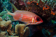 Longspine Squirrelfish (Holocentrus rufus)<br /> BONAIRE, Netherlands Antilles, Caribbean<br /> HABITAT & DISTRIBUTION: Shaded areas near bottom.<br /> Florida, Bahamas, Caribbean, Gulf of Mexico & Bermuda