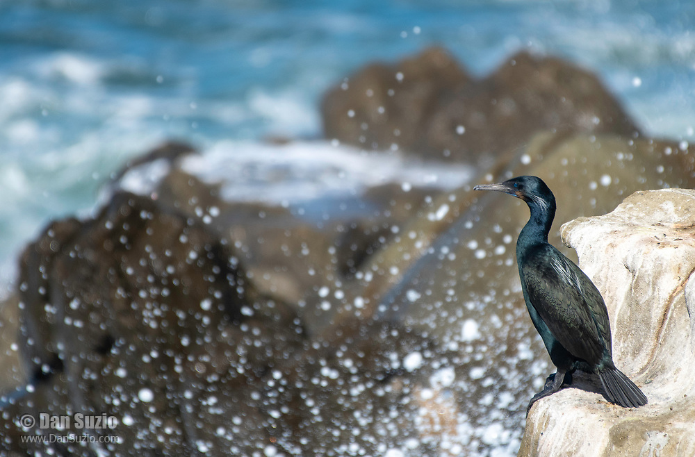 A Brandt's Cormorant, Phalacrocorax penicillatus, stands on a rock above the crashing surf on the Pacific Coast in Sonoma County, California