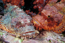 A pair of Tassled Scorpionfish, Scorpaenopsis barbatus, demonstrate their superb camouflage abilities; one mimics the pastel hues of coraline algae, the other matches the reddish soft coral. Black Rock; Mergui Archipelago; Myanmar/Burma; Andaman Sea